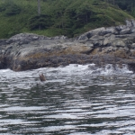 Sealion in campbell river image001 (66).jpg