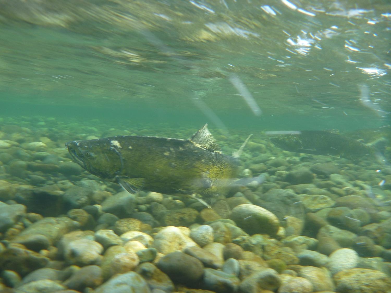 Salmon Enhancement.jpg