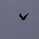 Eagles in campbell river image001 (47).jpg