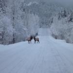 Elk in Gold River image001 (57).jpg